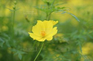 一輪の黄色いコスモスの写真・画像素材[1481874]
