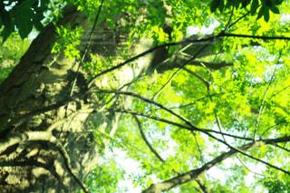フォレスト内のツリーの写真・画像素材[1371557]