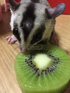 キウイの小型犬の写真・画像素材[1371961]