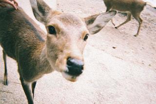 奈良県の鹿と触れ合う写真の写真・画像素材[1371970]
