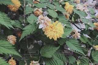 近くの花のアップの写真・画像素材[1372092]