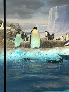水体で泳ぐペンギンの写真・画像素材[1374145]