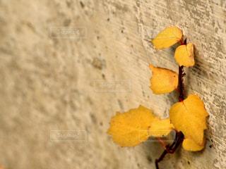 黄色の葉の写真・画像素材[1376121]