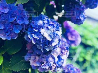 紫陽花の写真・画像素材[1373426]