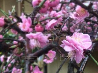 和の紅梅の花のクローズアップの写真・画像素材[3598822]
