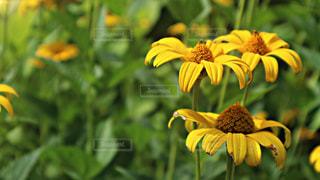 黄色の花の写真・画像素材[1375325]