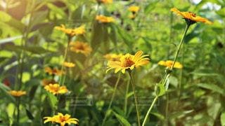 黄色の花の写真・画像素材[1375326]