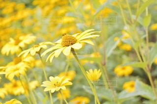 黄色い花の写真・画像素材[3256794]