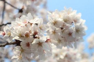 桜の写真・画像素材[3264125]