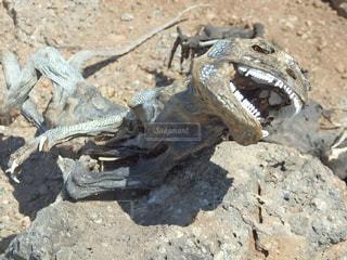 ガラパゴスリクイグアナのミイラの写真・画像素材[2233554]