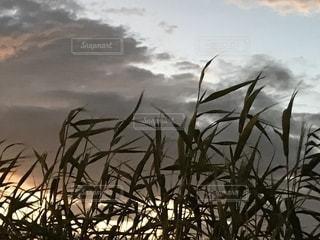 雑草のシルエットの写真・画像素材[1411874]