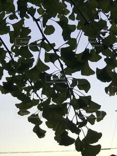 イチョウのシルエットの写真・画像素材[1415704]
