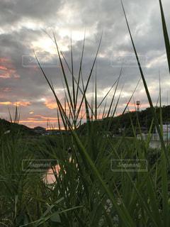 雑草の夕暮れの写真・画像素材[1446608]