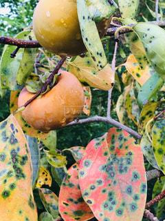 柿の写真・画像素材[1525842]