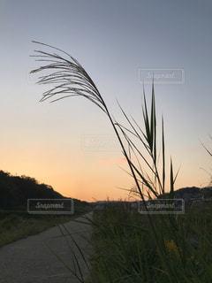 夕映えとススキの穂の写真・画像素材[1550497]