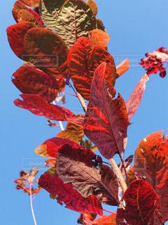 青空にスモークツリーの赤い葉の写真・画像素材[1602885]