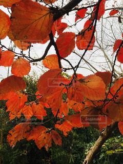 アカバナマンサクの紅葉の写真・画像素材[1612506]