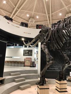 アジア象の骨格の写真・画像素材[1673497]