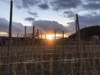 えんどう畑と夕日の写真・画像素材[1735318]