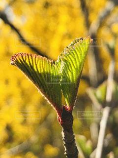 オオデマリの新芽の写真・画像素材[1883147]