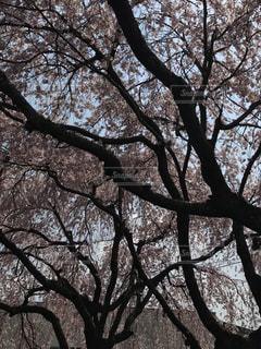 枝垂れさくらの写真・画像素材[1974422]