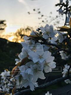 夕暮れ桜の写真・画像素材[2035893]