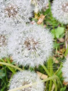 野辺のタンポポの綿毛の写真・画像素材[2063287]