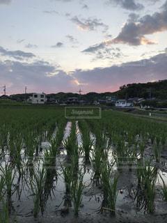 すくすく育つ稲の写真・画像素材[2244071]
