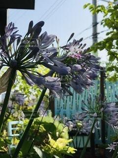アガパンサスの花の写真・画像素材[3370087]