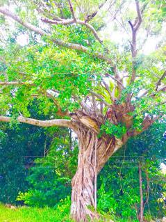 フォレスト内のツリーの写真・画像素材[1447559]
