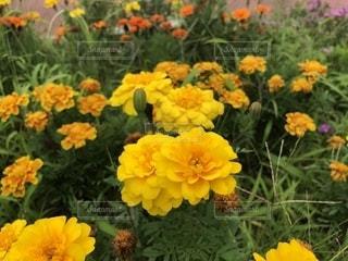 黄色の花の写真・画像素材[1394966]