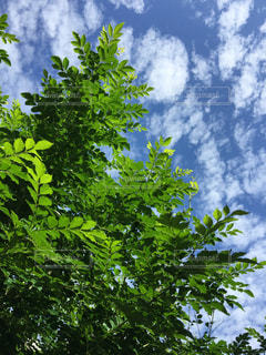 大好きな木の写真・画像素材[1375572]
