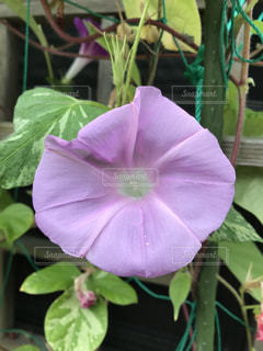 プランターに咲く淡い紫の朝顔の写真・画像素材[1390900]