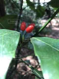緑の中の赤い実の写真・画像素材[1879989]