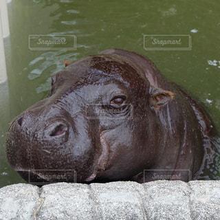 水の中に座っている茶色の牛の写真・画像素材[1376357]