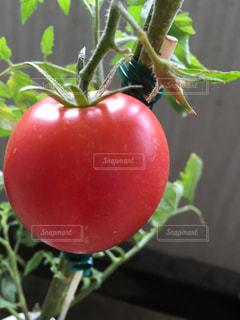 植物のトマトのクローズアップの写真・画像素材[3196359]