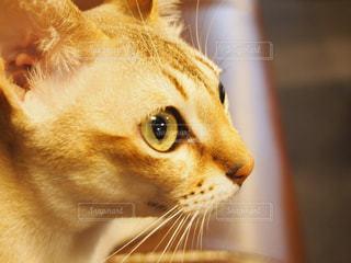 猫のアップの写真・画像素材[1426467]