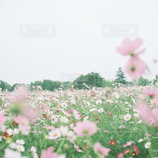 ピンクの花は草の中に立っています。の写真・画像素材[1458844]