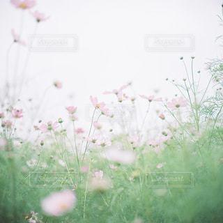 近くのお花畑の写真・画像素材[1458845]