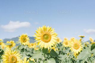 ひまわり畑の写真・画像素材[1502068]