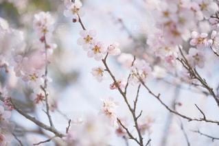 梅の写真・画像素材[1558990]