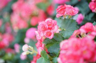 ベゴニアの花の写真・画像素材[1377625]