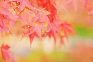 水辺の紅葉の写真・画像素材[1379621]