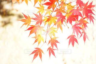 紅葉の写真・画像素材[1408130]