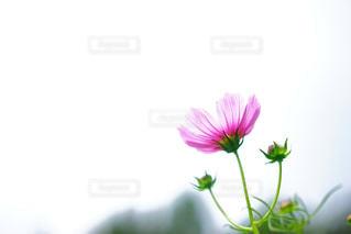 秋桜の写真・画像素材[1423160]