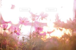 コスモス畑の写真・画像素材[1439245]