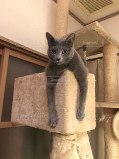 キャットタワーでくつろぐネコの写真・画像素材[1377858]