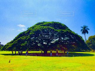 この〜木なんの木気になる木の写真・画像素材[1378114]