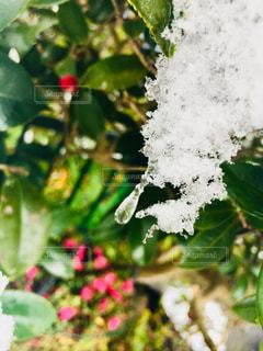 雪のしずくの写真・画像素材[1392249]