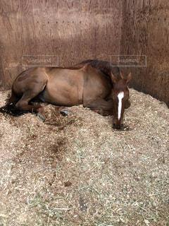 お昼寝中の栗毛の馬の写真・画像素材[1379217]